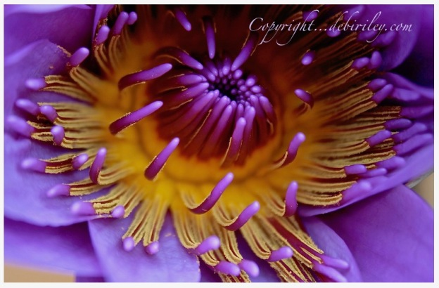 lovely lavender water lily, flower photograph, debiriley.com