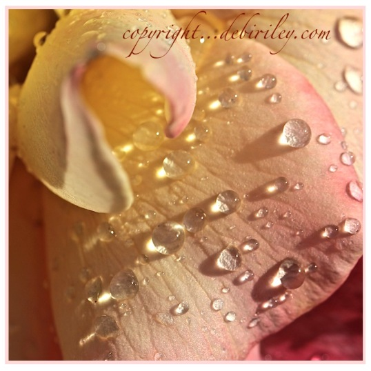 raindrops on roses, macro photography, debiriley.com