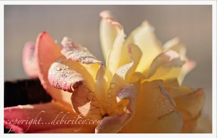 macro floral photo, rose in the sun, meditative photography, debiriley.com