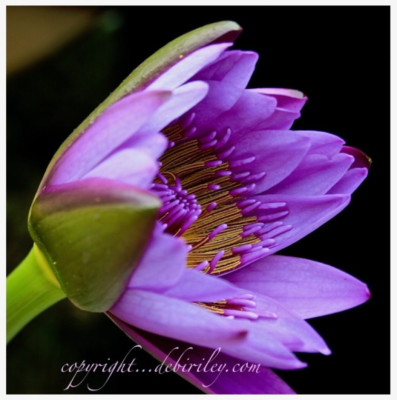 water lily photograph, purple flowers, debiriley.com