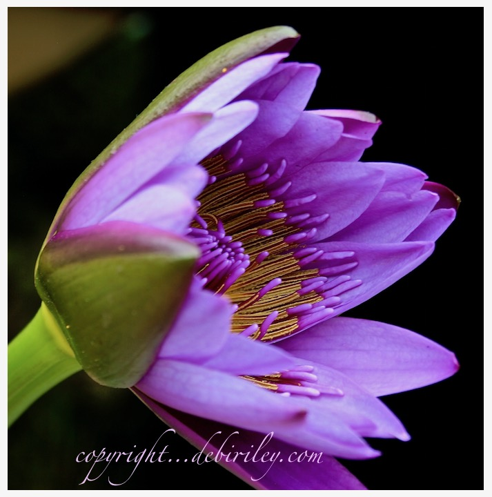 water lily photograph, purple flowers, debiriley.com