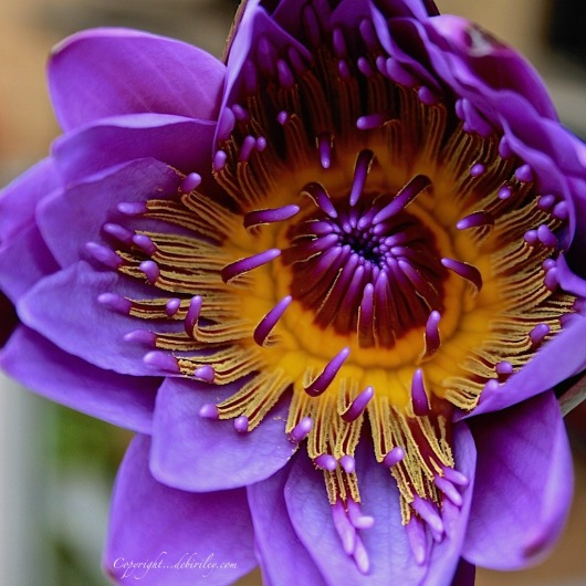 water lily in purple, flower photography, debiriley.com