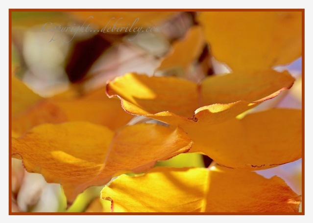 golden fall foliage, golden autumn tree color, autumn photography, debiriley.com