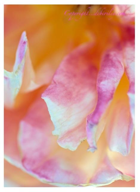 rose garden, macro floral, pink petals, debiriley.com