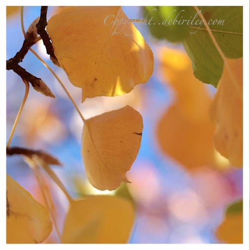 nature photos, autumn gold leaves, yellow tree leaves, debiriley.com