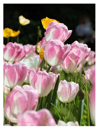 Arulean Spring flowers, pink tulips, nature photography, Degas pink dancers, debiriley.com
