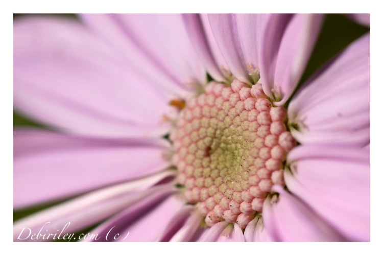 flower poems, Edwin Curran, pink gentle sweet flowers, macro photo of flower, debiriley.com
