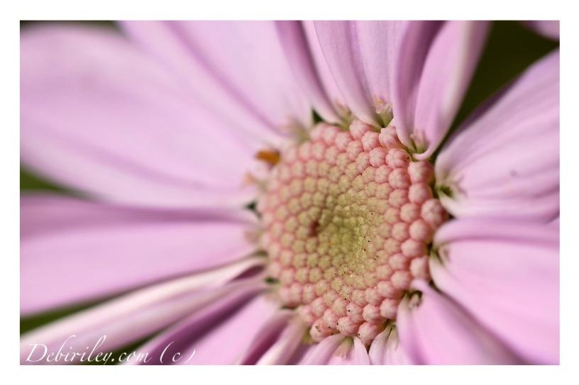 flower poems, Edwin Curran, pink gentle sweet flowers, macro photo of flower, debiriley.com