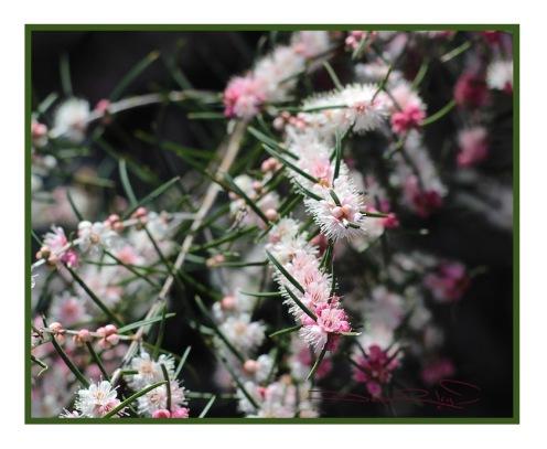 forest pink blossoms, zen strolls, Perth, meditation in nature, debiriley.com