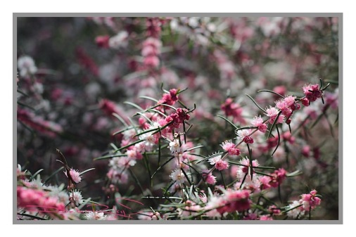 spring pink blooms, nature walks, flower photos in pink, relaxing in nature, zen strolls, debiriley.com