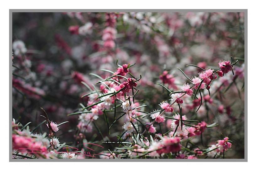 spring pink blooms, nature walks, flower photos in pink, relaxing in nature, zen strolls, debiriley.com