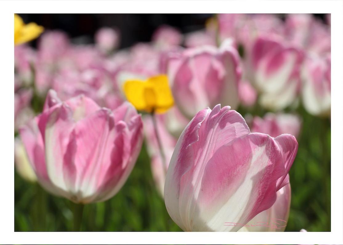 tulips in a field, Arulean spring flowers, Degas pink dancers, macro flower photography, debiriley.com