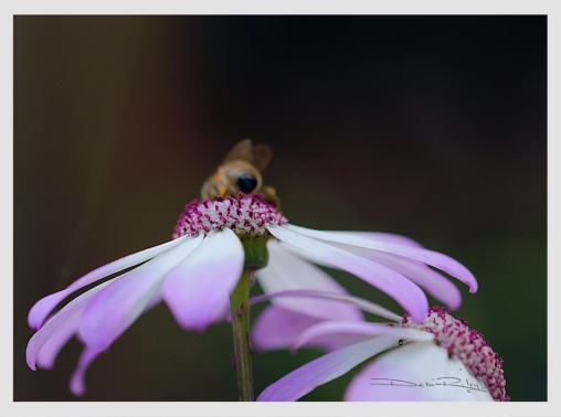 bee on pale lavender flower photograph, debiriley.com