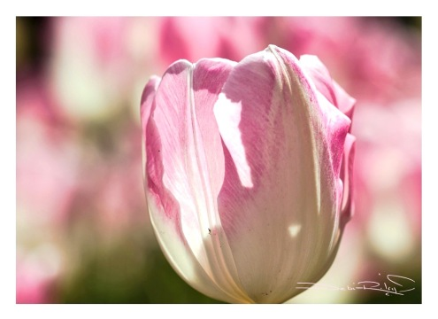 Arulean spring tulips, macro photography tulips, field of pink tulips, debiriley.com