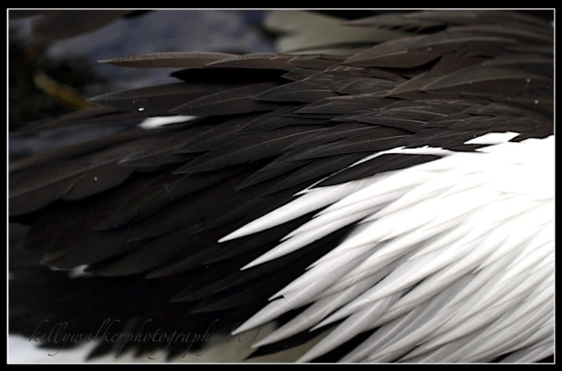 pelican wing feathers, black and white photograph, unity, debiriley.com