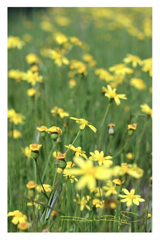 meadow of yellow flowers, canon rebel eos photography, nature walk, debiriley.com