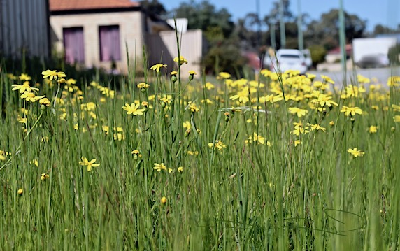 finding nature's treasures on walks, fields of yellow flowers, canon rebel eos, debiriley.com