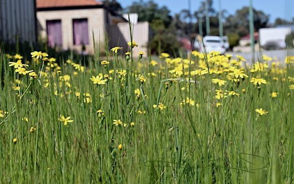 finding nature's treasures on walks, fields of yellow flowers, canon rebel eos, debiriley.com