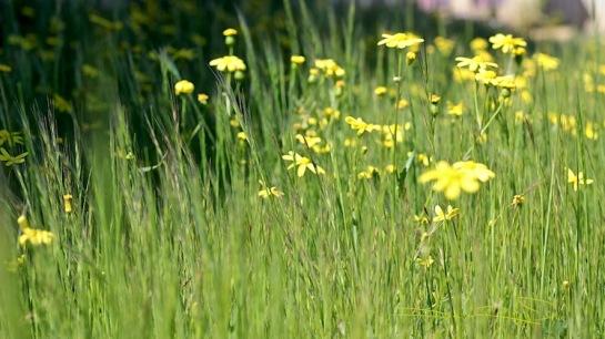 nature walks, zen strolls debi riley, yellow flowers in the field, debiriley.com