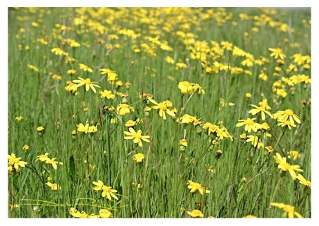fresh yellow flowers in the field, flower photography, debiriley.com