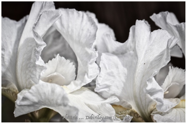 quote by Joshua Braff, flowers speak, iris macro photography, pearl white petals, canon camera 100mm macro lens, debiriley.com