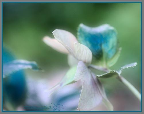 macro flowers in blue and lavender, Araluen spring flowers, debiriley.com