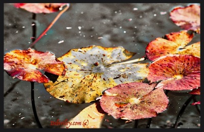 digital photography Luminar, canon rebel 600d, meditational writing, zen poem, lily pond photograph, communicating through art media, debiriley.com