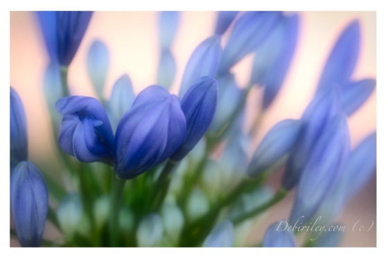 blue flower agapantha, Monet art, zen strolls, early morning walks, debiriley.com