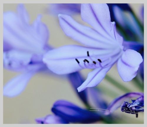 soft light in morning photography, flower agapantha, nature walks, debiriley.com
