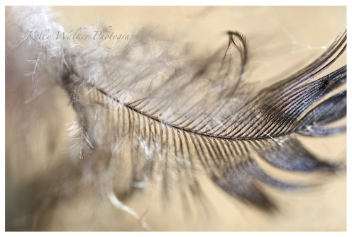 fallen feather photo, soft grey and white tones, debiriley.com