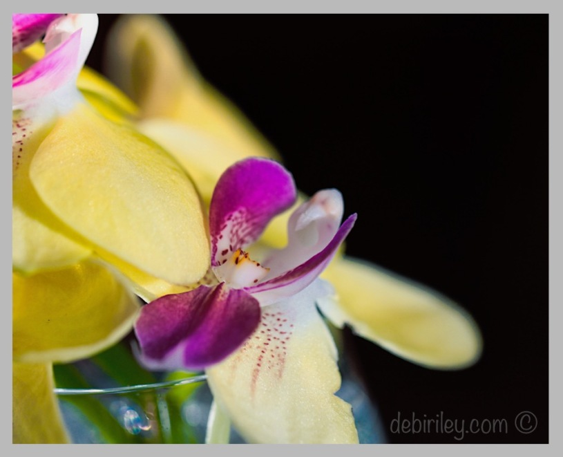 yellow and purple orchid, orchid information, debiriley.com
