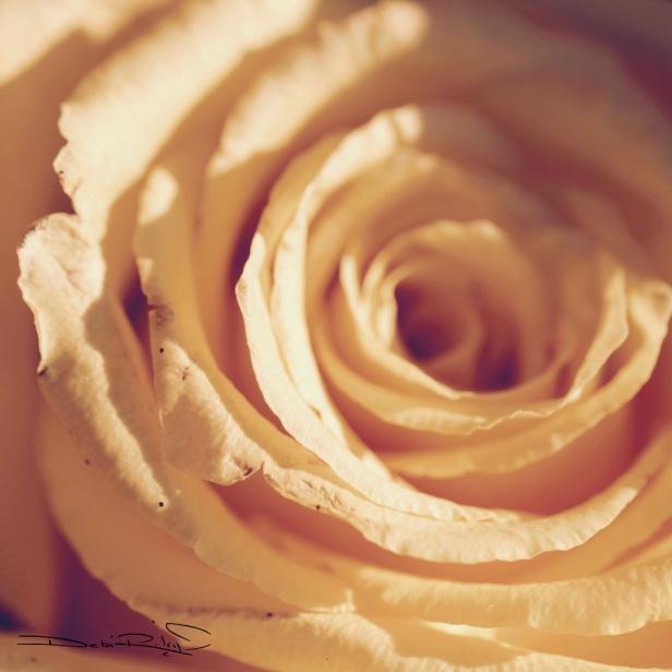 rose petals in warm yellow spirals, rose photo, debiriley.com