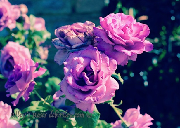 garden roses in pink lavenders, purple rose photographs, debiriley.com