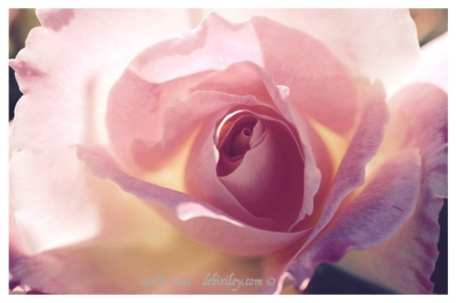 sunlit pale pink rose photograph, canon camera, debiriley.com