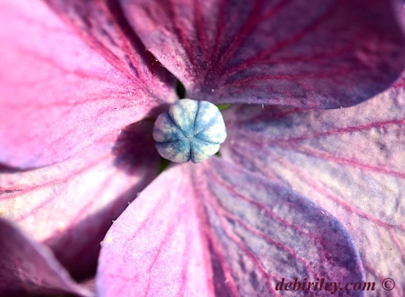 summer hydrangea, purple flower macro, flower photography, summer Seattle, debiriley.com