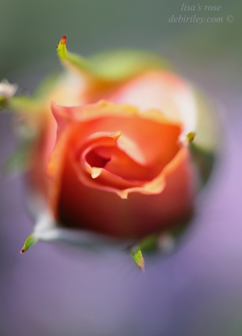 rose soft focus, orange purple color floral, photo rose bokeh, debiriley.com