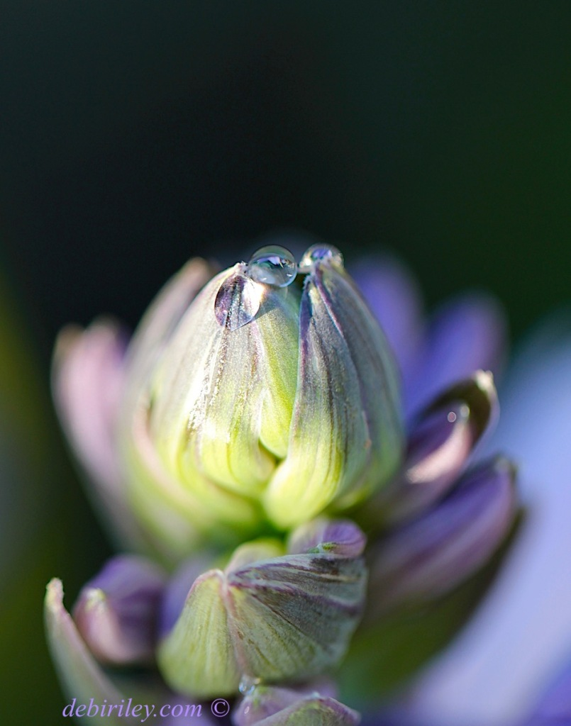 macro floral dew drop, purple flower bokeh,zen photography, debiriley.com