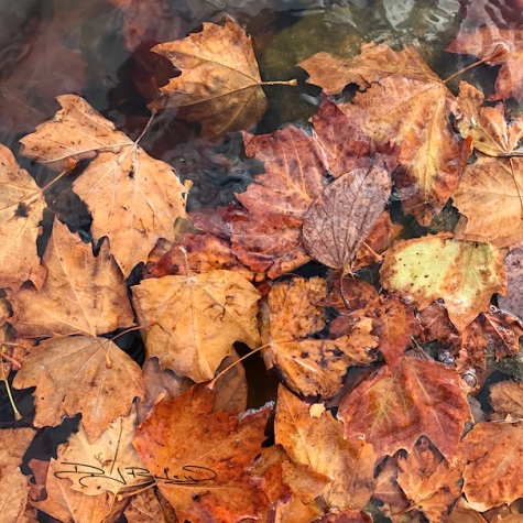 autumn leaves in pond photograph