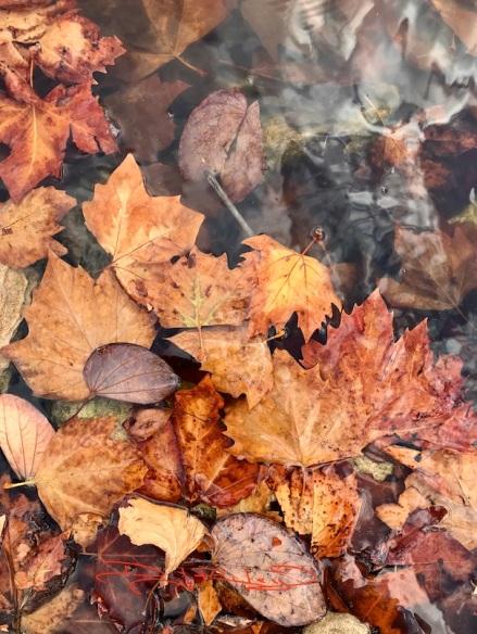 fallen leaves in pond